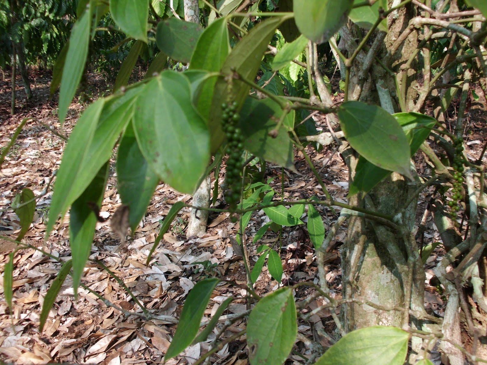 Budidaya Tanaman Rempah Obat Dan Aromatika Tanaman Lada Piper Nigrum L Umy Iffah